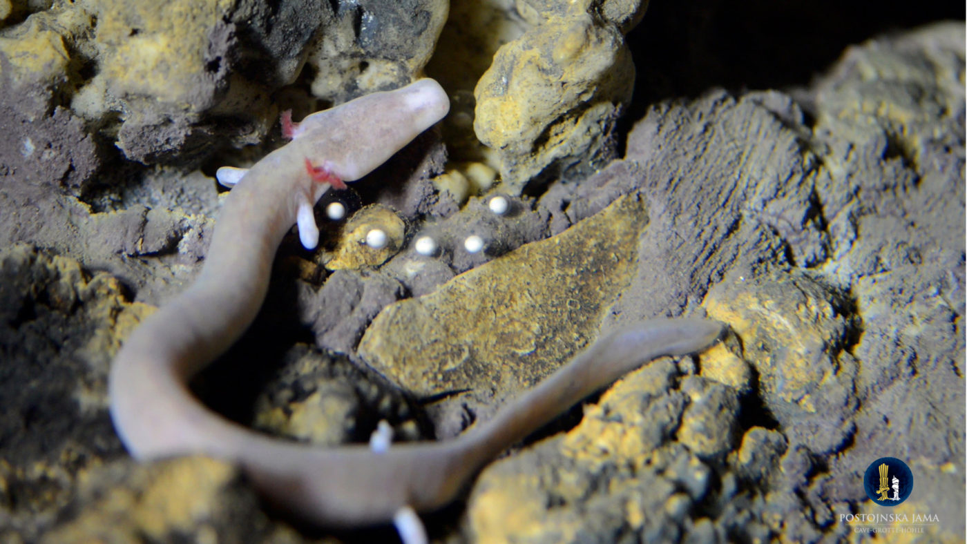 A female olm with its eggs inside Postojna Cave