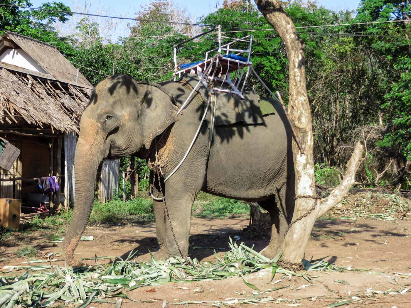 an elephant chained to a tree with a seat on his back