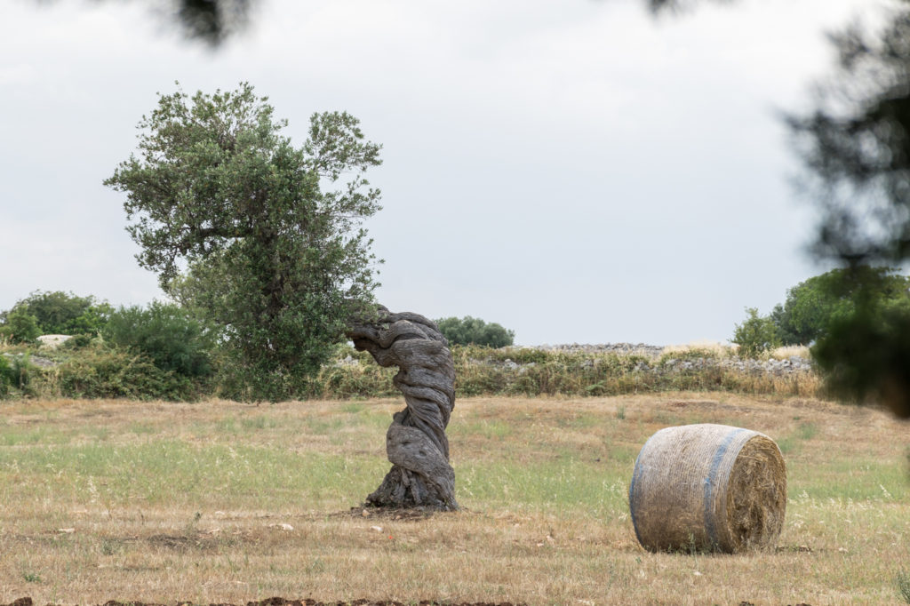 Twisted olive tree in Puglia