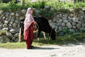 woman and a cow